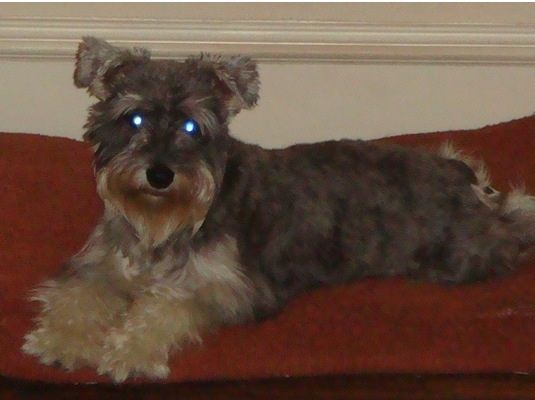 Miniature #schnauzer #gray with cream beard and paws. His hair is shaggy like in the pic. He was lost Monday August 19th on the 3700 block of Seguin dr (around Marsh Ln and Walnut Hill)he was wearing a #black leather collar with silver studs around it. ***URGENT*** he need his medication. His family misses him very much and we just want him home. ***REWARD****