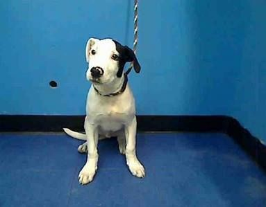 JUST A 4 MONTH OLD BABY!!!!!!! URGENT - Manhattan Center    THUMPER - ID#A0984947   I am an unaltered male, white and black Pit Bull Terrier mix.The shelter staff think I am about 4 months old.I weigh 26 pounds.I was found in NY 10462.I have been at the shelter since Nov 14, 2013 https://www.facebook.com/media/set/?set=a.680015905344625.1073742428.152876678058553&type=3#!/photo.php?fbid=707223785957170&set=pb.152876678058553.-2207520000.1384449716.&type=3&theater