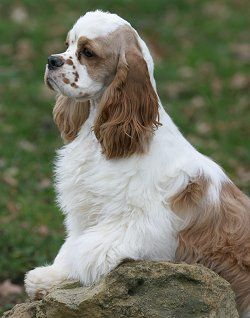 American Cocker Spaniel Faq Frequently Asked Questions About American Cocker Spaniel Dogs Cocker Spaniel Dog American Cocker Spaniel Dog Breeds