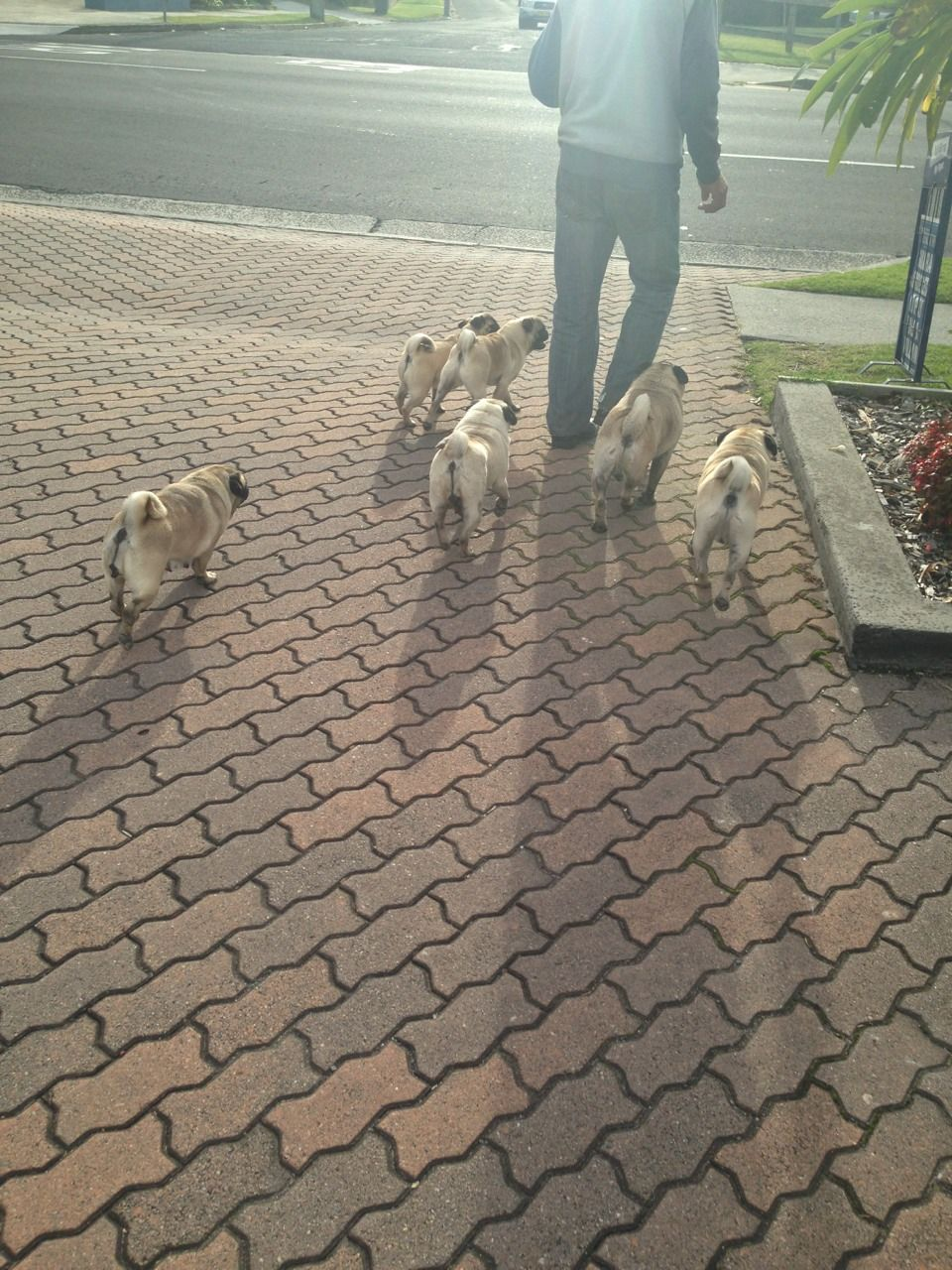 Grumble is a group of pugs. My four would never behave in such an orderly fashion.  LOVE LOVE LOVE!!! PUG FARM!!!!!