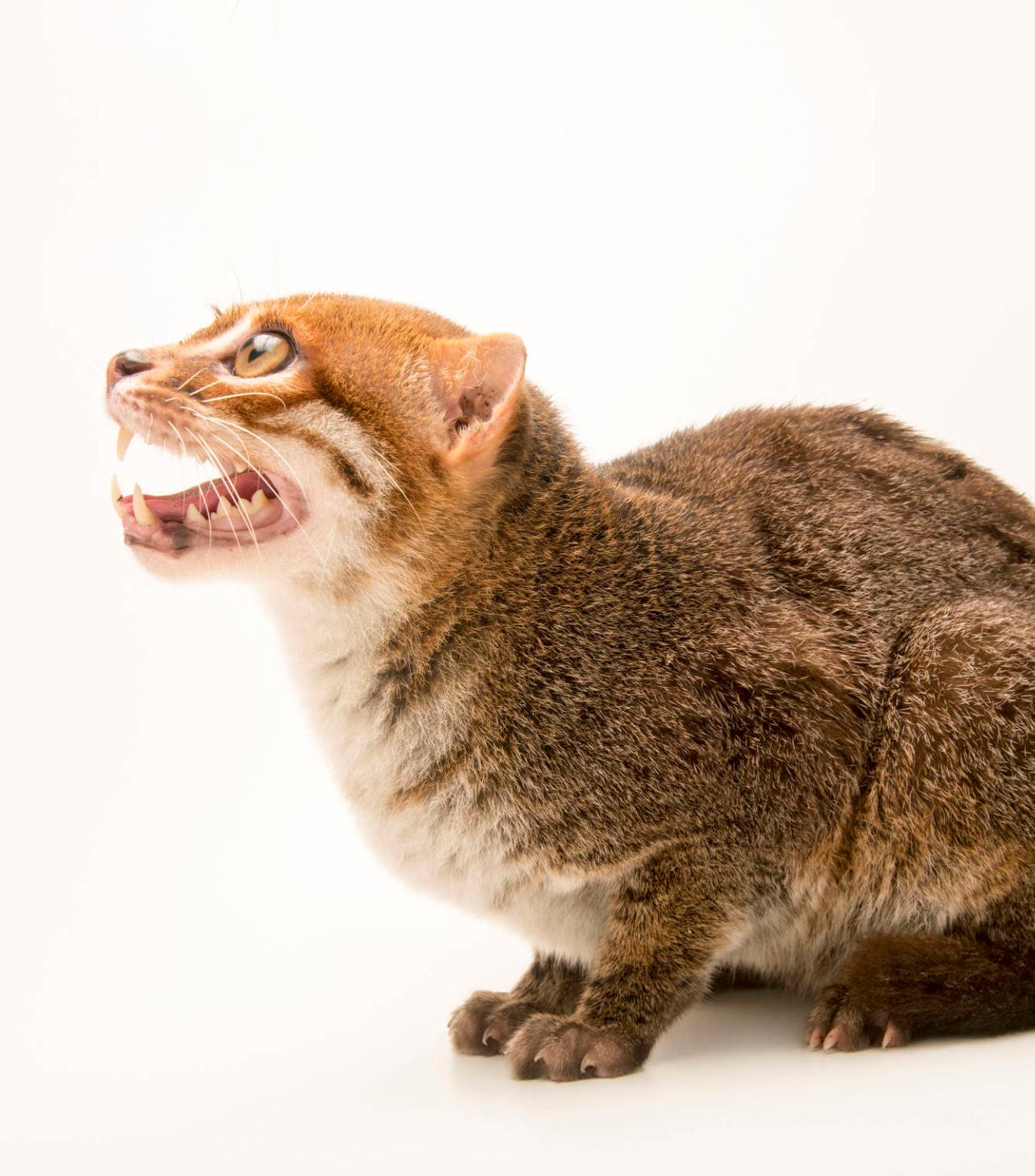 An endangered flatheaded cat (Prionailurus planiceps) at