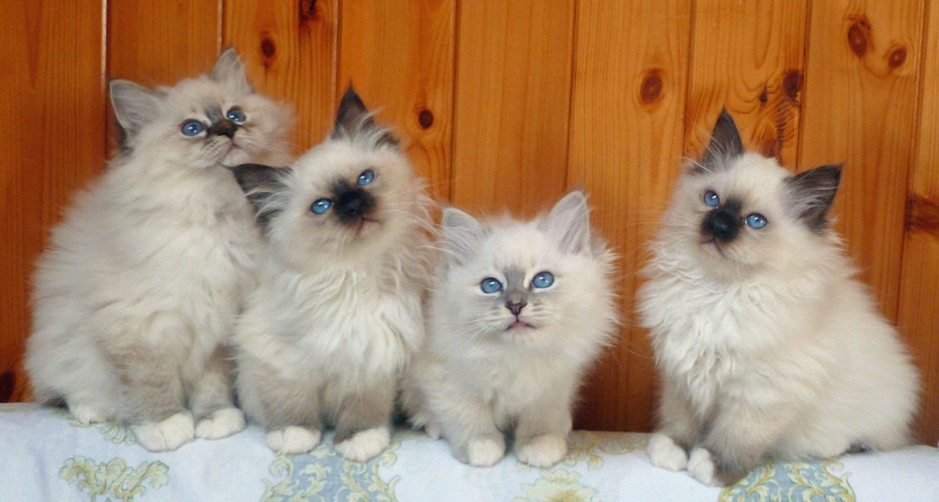 Giogio Birmans 2 Months Old Lovely Kittens From The Left