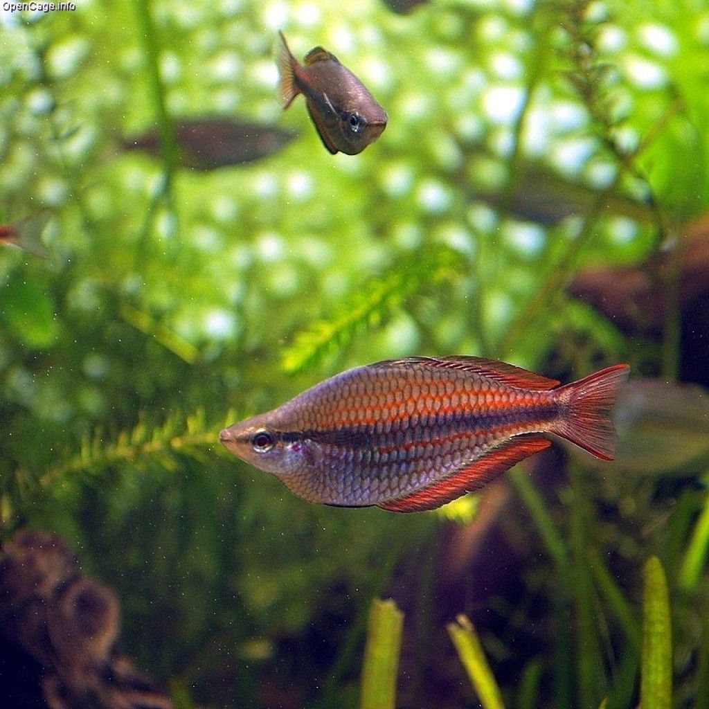 Freshwater aquarium no fish - These Rainbow Fish Facts Will Blow Your Mind There S No Fish That Looks Better In Aquarium Fishfreshwater