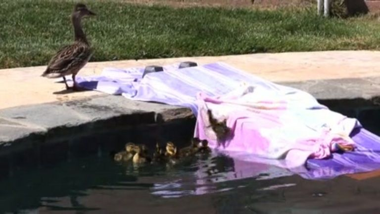 Mommy and ducklings escape from suburban pool (must watch!)