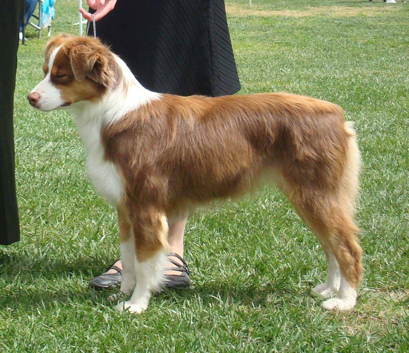 Mini red tri Australian shepherd | Pets and Animals ...