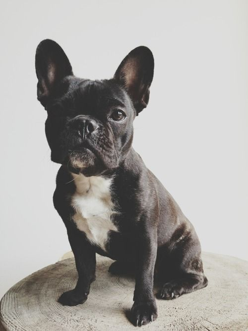 Dog For The Apartment Heh With Images Baby Dogs Cute Animals Bulldog