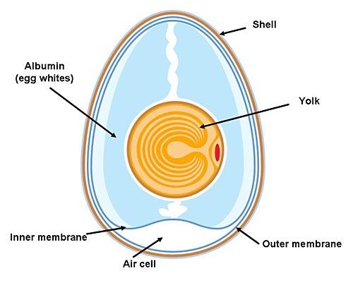 Zoology Science Project-demonstrates that an egg shell is porous ...
