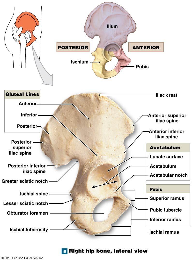 hight resolution of the ischium of the right coxal bone