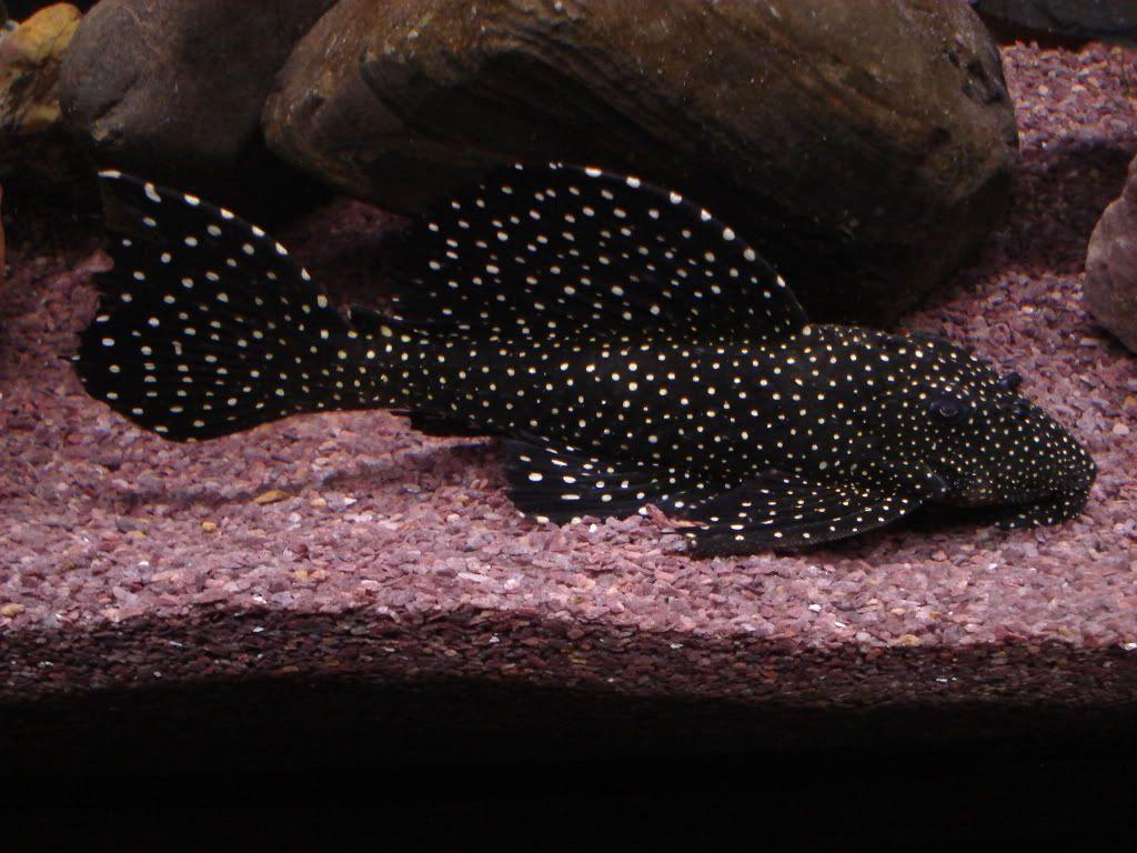 Ugly freshwater aquarium fish - Peppermint Pleco Pepperminthobbydreamsfreshwater Aquariumbeautiful Fishfresh