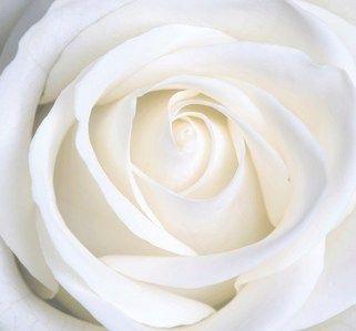 White rose flowers photo 28138842 fanpop white pinterest white rose flowers photo 28138842 fanpop mightylinksfo