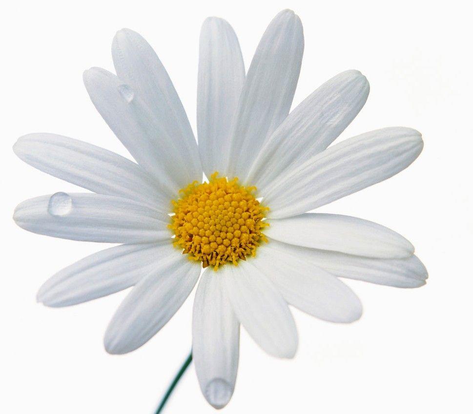 April Birth Flowers Beautiful: April Birthday Gift Ideas – Daisy
