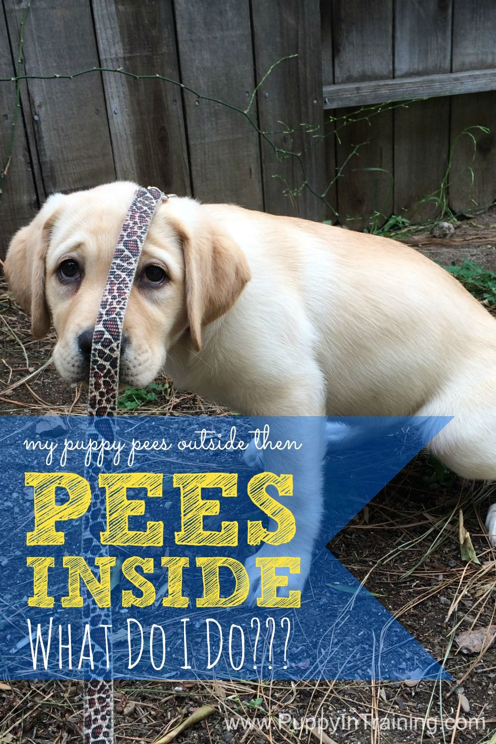 My Puppy Pees Outside Then Pees Inside Potty Training Puppy Training Your Puppy Puppy Training