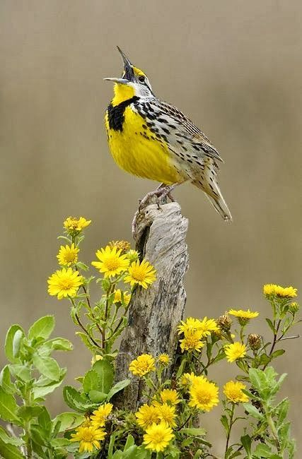 A Meadowlark Singing And Matching Wild Flowers #wildflowers