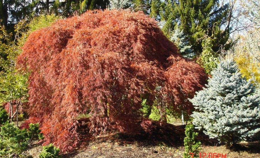Giant Ornamental Specimen Trees For Sale In Rockland Westchester Orange County In Ny And Northern N Specimen Trees Small Trees For Garden Japanese Maple Tree