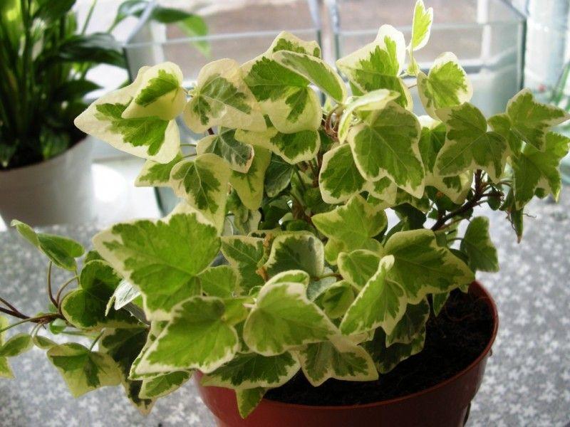 Комнатные растения, очищающие воздух. (8 фото)
