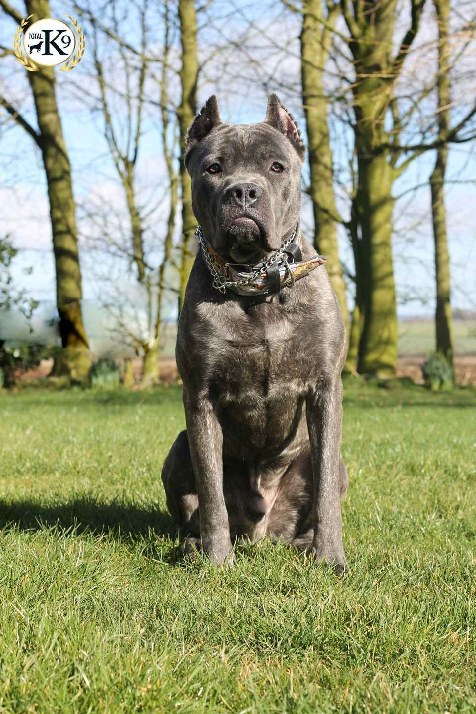 Bullet Male Cane Corso Personal Protection Dog Cane Corso Dogs