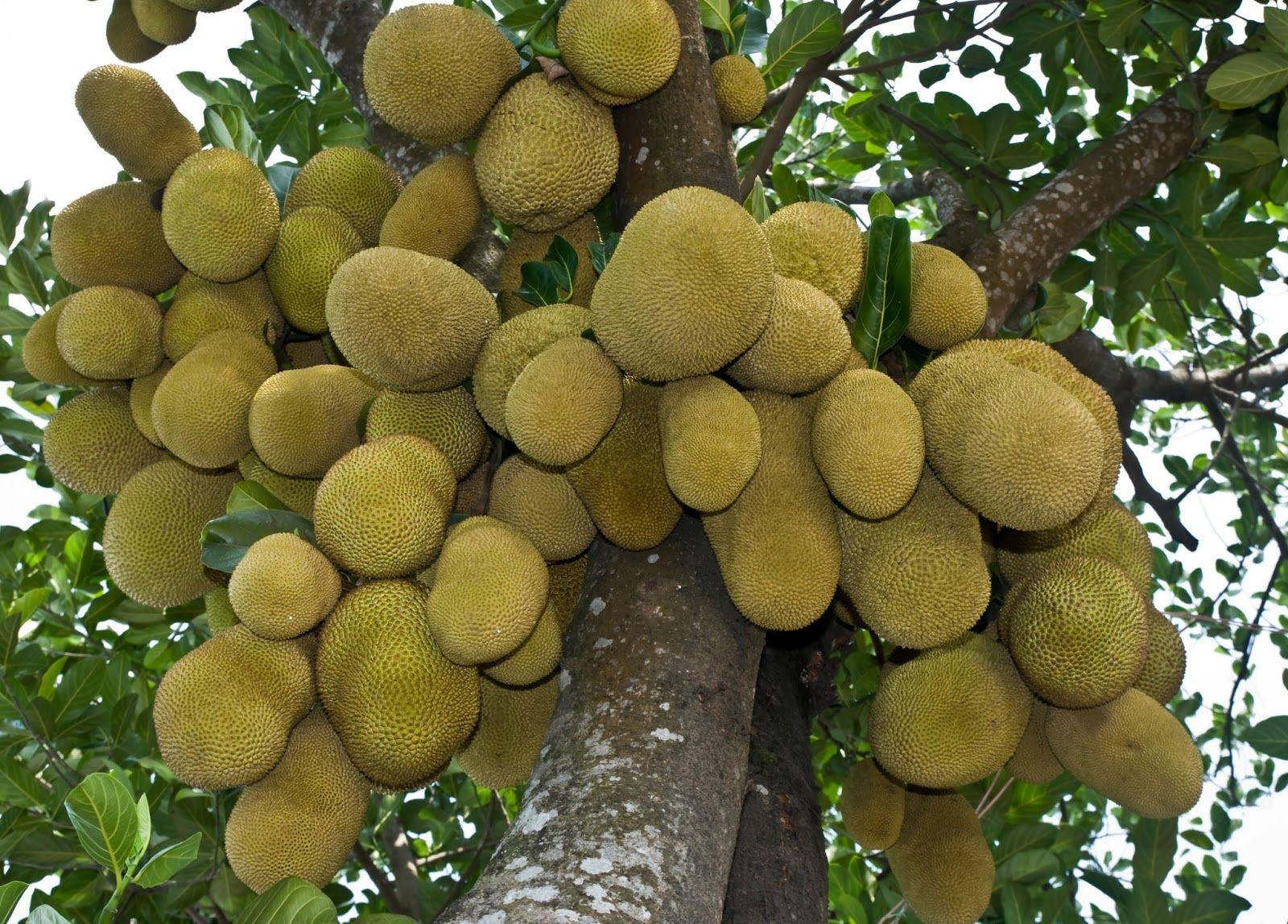 Trees Planet: Artocarpus heterophyllus – Jackfruit - Jack fruit ...