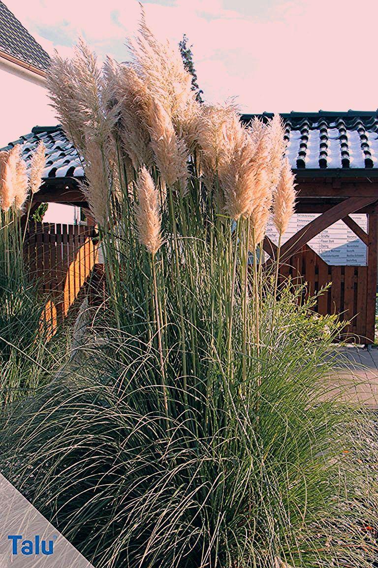 Pampasgras - Infos über Pflanzzeit, Pflege und Rückschnitt - Talu.de