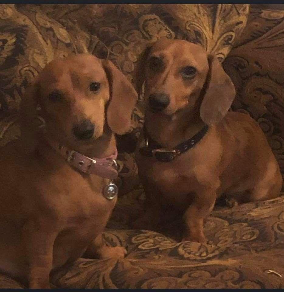 Pin By Rhonda Rutledge Alaeff On Weiner Dogs Weiner Dog Puppies Animals