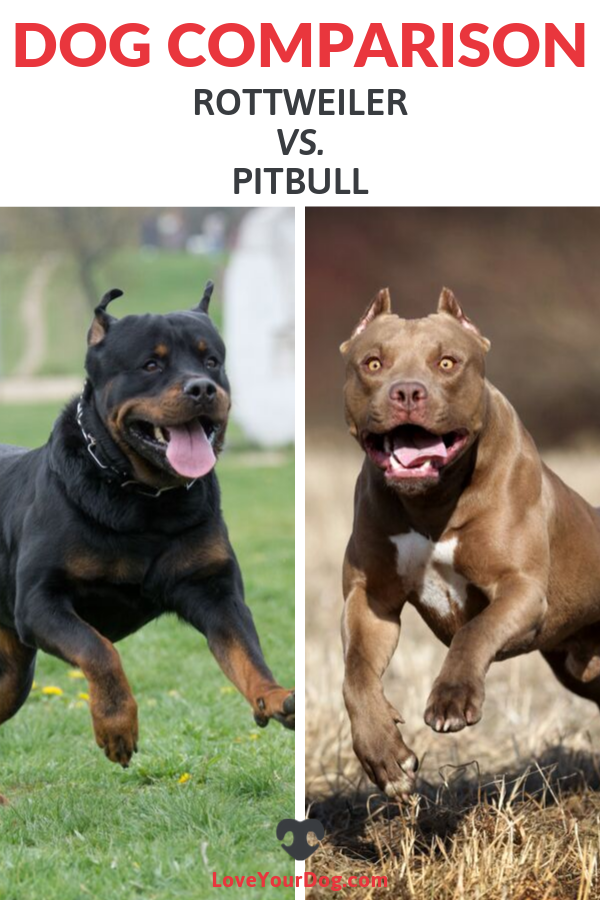 Rottweiler Vs Pitbull Breed Comparison Differences Similarities Dog Comparison Rottweiler Pitbulls
