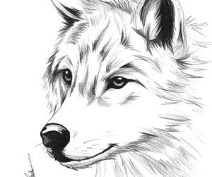 Desenhos de Lobo para colorir - Tudodesenhos