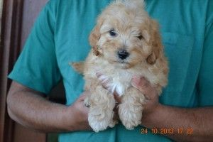 Labradoodle Puppies Puppies For Sale In Melbourne Labradoodle Puppies For Sale Puppies For Sale Labradoodle Puppy