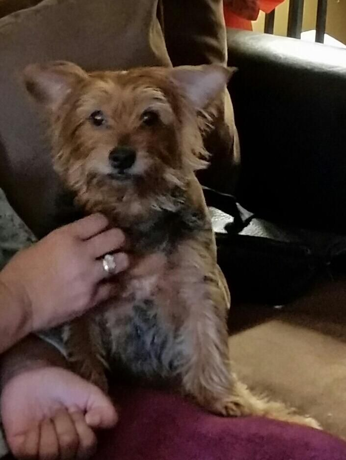 Dolce Is Missing Losing A Pet Yorkie Pets