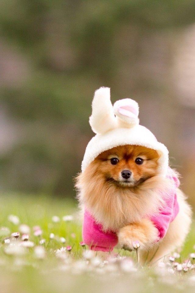 Adorable Pom I Love Love Love Poms Pinterest Puppies Cute