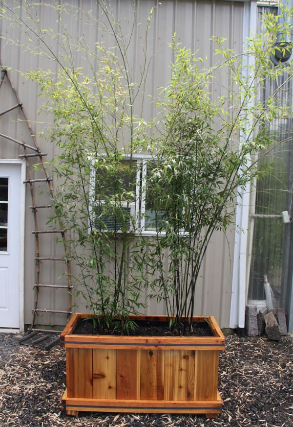 ornamental bamboo fence.htm bamboo planters link to care info and purchase info www  bamboo planters link to care info and