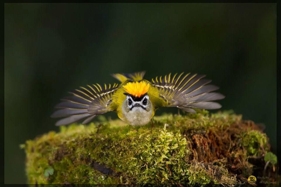 Golden-crowned kinglet ;)))