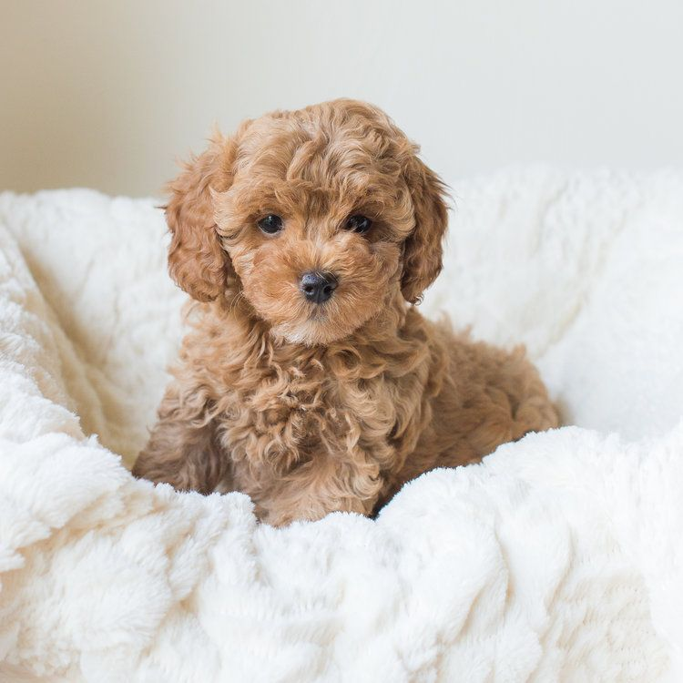 Pin by a on KATIE in 2020 (With images) Cavapoochon
