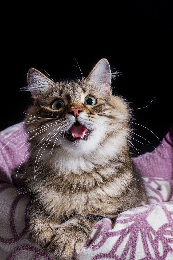 pin von julia hiemer auf babyminis katzen lustige tierbilder und norwegische waldkatze