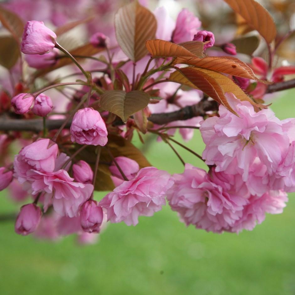 Prunus Kanzan Japanese Flowering Cherry Japanese Flowering Cherry Prunus Flowering Cherry Tree