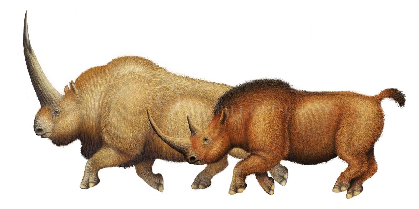 rhinoceros comparison If you compare a sumatran rhinoceros to a common hippopotamus, the hippo will almost certainly be significantly larger the answer to the size comparison between both animals always depends on the specific species and specimens.