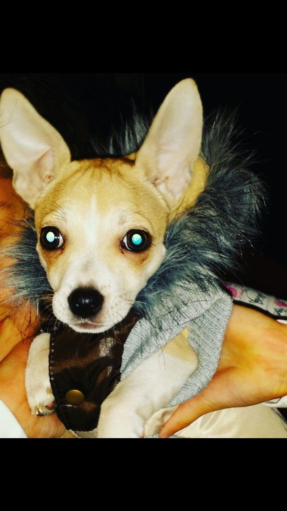 6 Month Old Chihuahua For Sale Acocks Green West Midlands