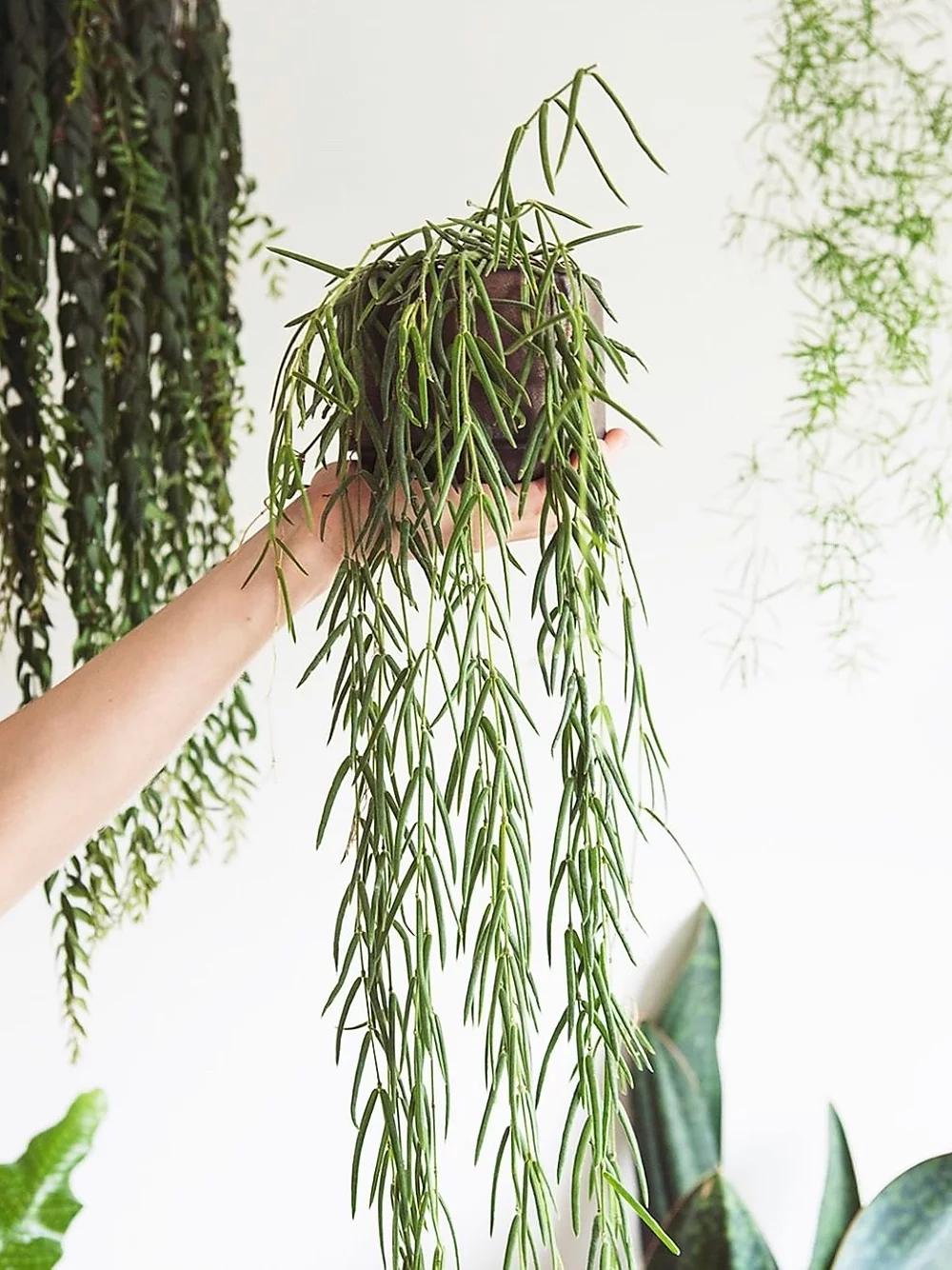 NEW Delivery VERY RARE Unique Houseplant Hoya Linearis