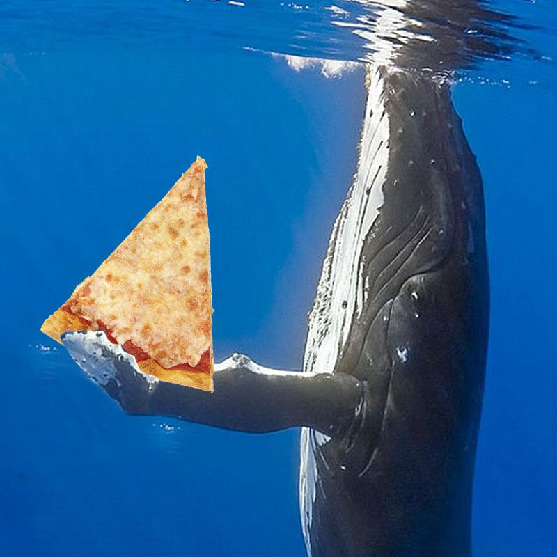 Blue whales eat pizza  California blue whales rebound from