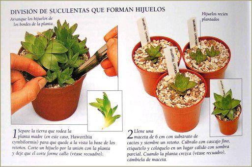 Las suculentas suculentas separar y macetas - Tipos de plantas y sus cuidados ...