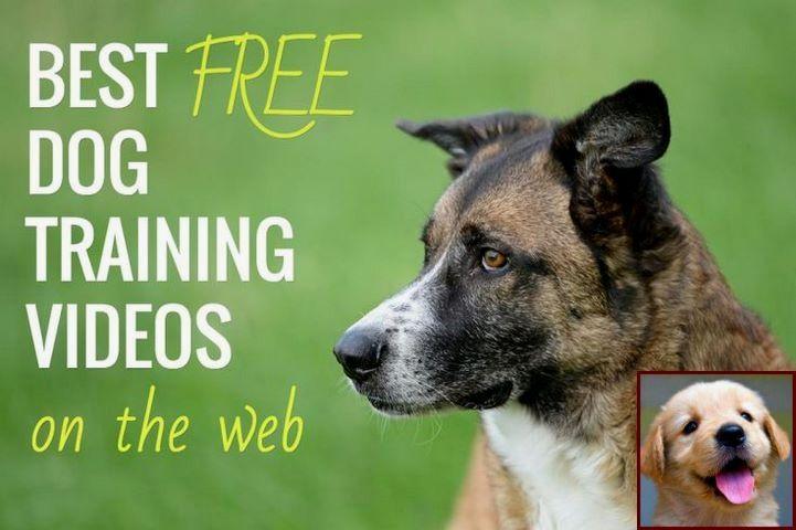 House Training A Puppy Golden Retriever and Dog Training
