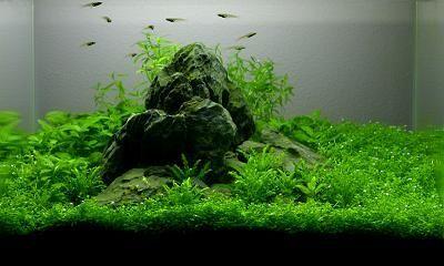 Great Use Of A 1 Rock Aqua Scape With A Good Carpet Of Plants Planted Aquarium Nano Aquarium Freshwater Plants