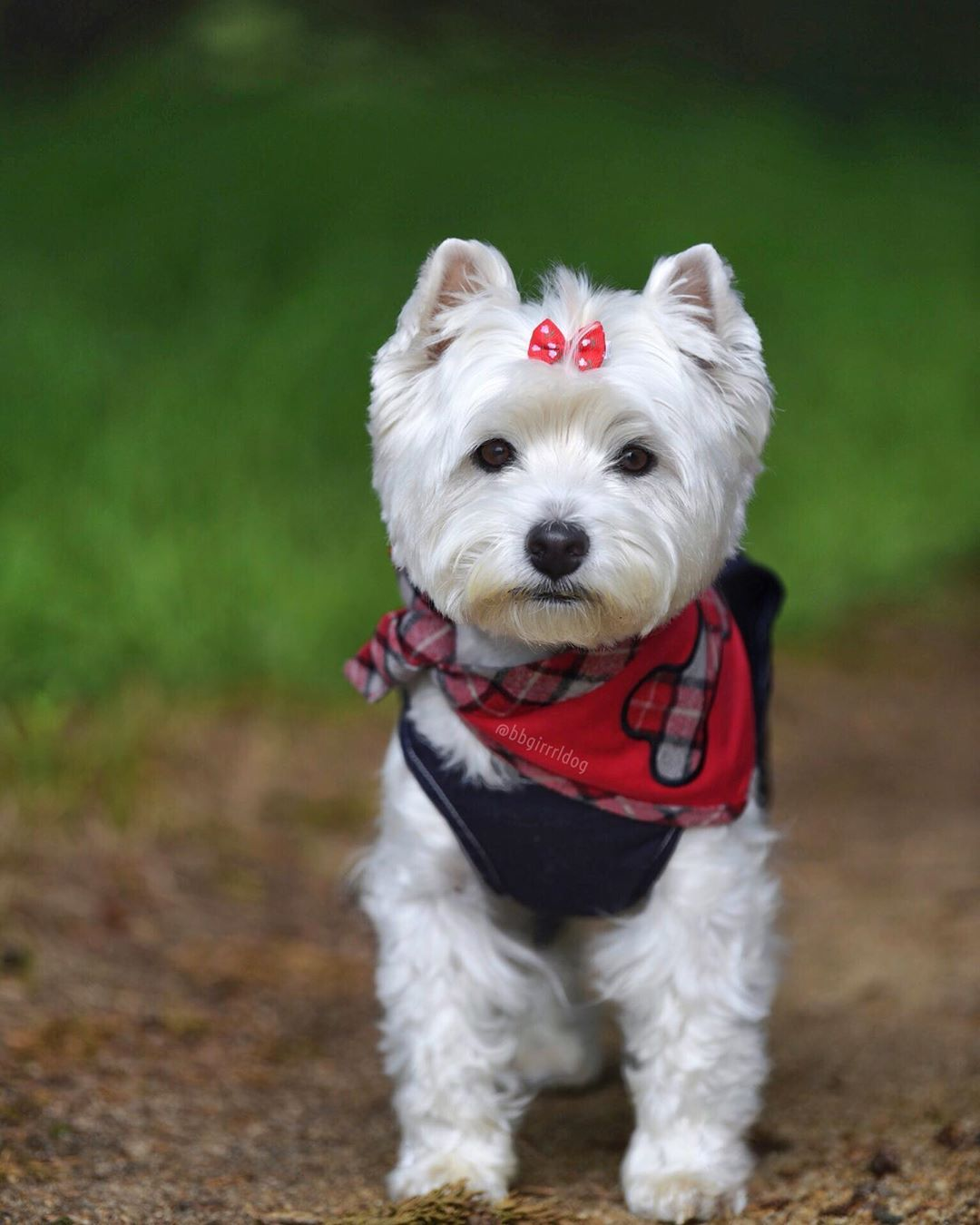 Pin By Gyorgyi Fodorne On Dogs In 2020 Westie Puppies Cute Puppies Canine Companions