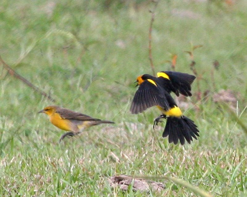 saffron-cowled blackbirds, a female on the left and male on the right,