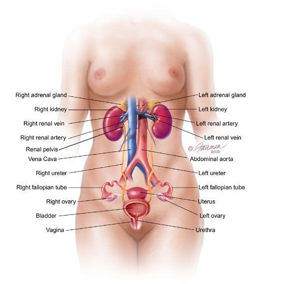 Female Abdomen Medical Pinterest Anatomy Anatomy Body Parts