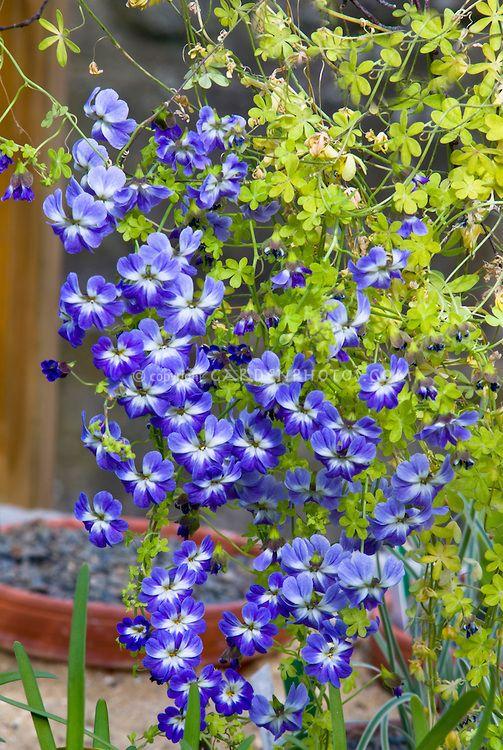 Tropaeolum Azureum Blue Flowers Climbing Vine Annual Plant