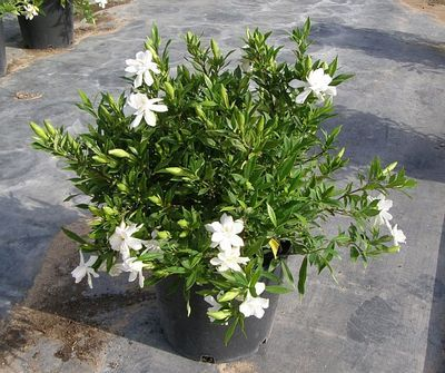 Frost Proof Gardenia Is A Low Maintenance Cold Hardy Gardenia The Frost Proof Gardenia Is An Easy In 2020 Patio Plants Backyard Landscaping Landscaping Around Trees