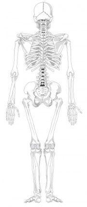 Esqueleto humano Voltar nenhum texto Não clip art Cor