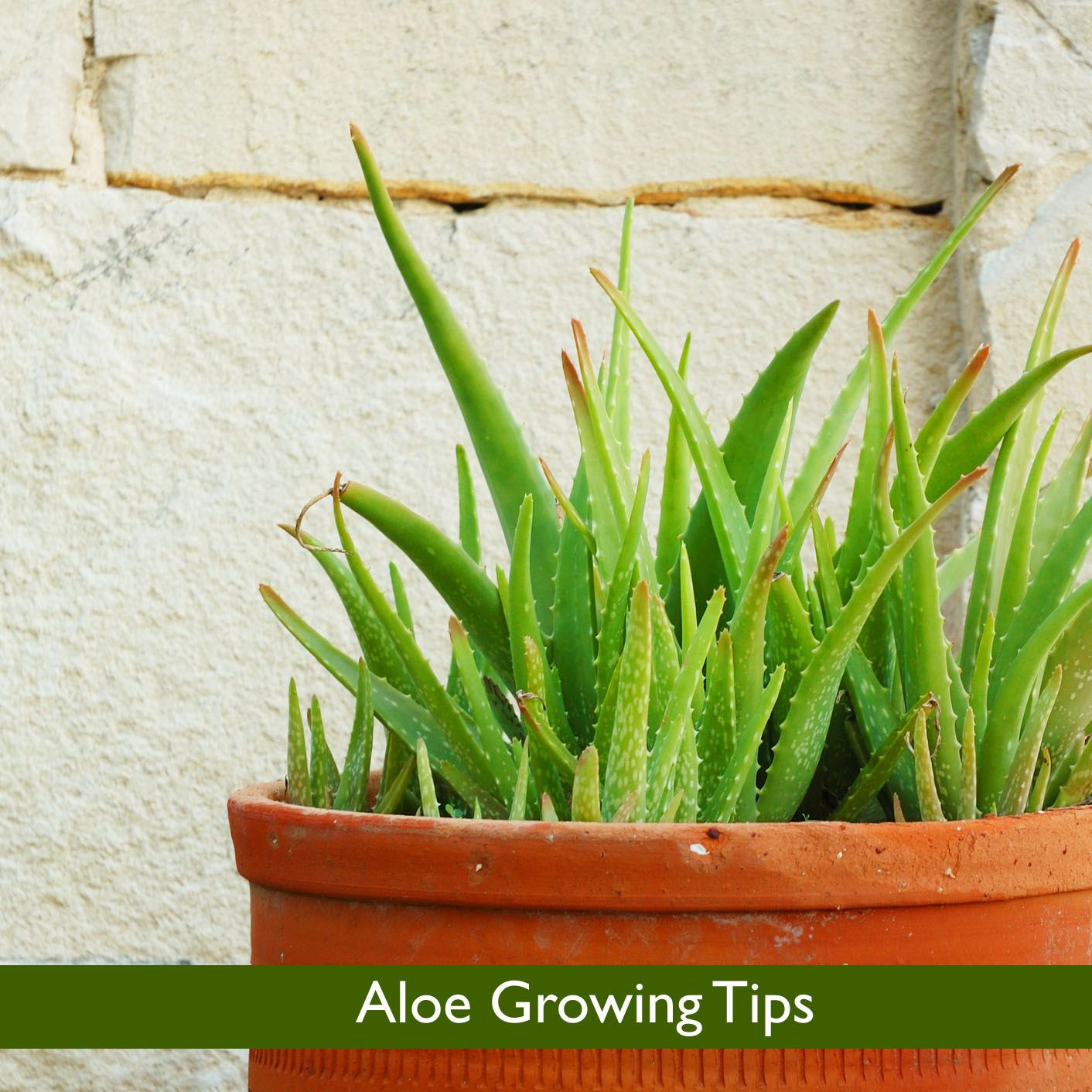 Aloe Growing Tips (With Images)