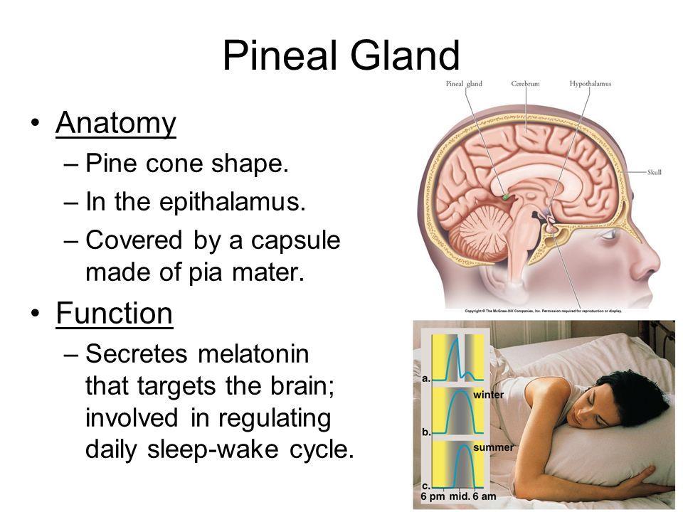 Pineal Gland: Secretes hormore (melatonin) | Science: Endocrine ...