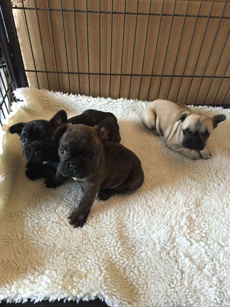 French Bulldog Puppies For Adoption Http Dubai Adzshare Com