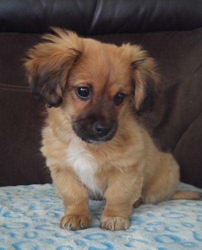 Dameranian Pomchi Puppies Mixed Breed Dogs Mixed Breed Dogs Medium
